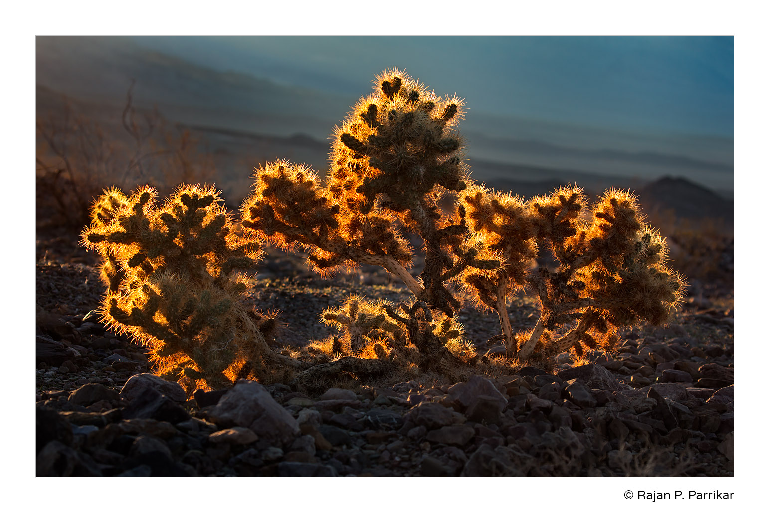 Cholla-Backlit-Deah-Valley